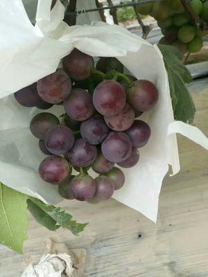 这是一张关于藤稔葡萄 5%以下 1次果 1-1.5斤的产品图片
