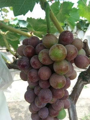 安徽省阜阳市临泉县夏黑葡萄 5%以下 1次果 1-1.5斤