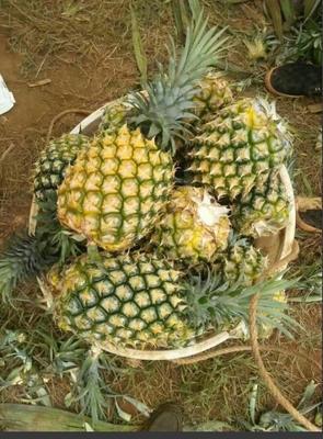 广东省湛江市坡头区徐闻菠萝 1.5 - 2斤