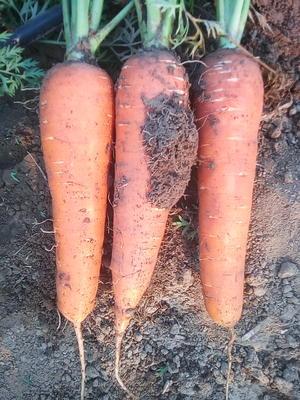 河北省石家庄市新乐市三红胡萝卜 15cm以上 3两以上 3~4cm