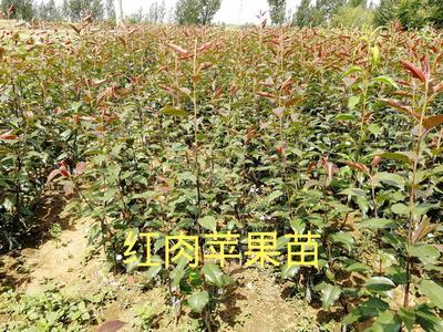 这是一张关于红心苹果苗 0.5米以下的产品图片