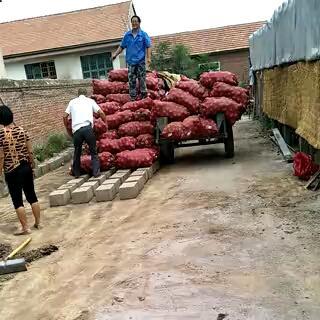 山东省潍坊市潍城区二红洋葱 8cm以上 二红 4两以上