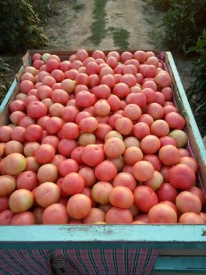 河南省郑州市中牟县硬粉番茄 不打冷 硬粉 弧三以上