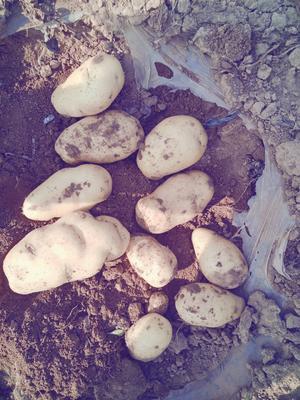 山东省潍坊市诸城市荷兰15号土豆 2两以上