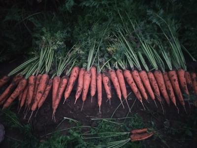 河北省邢台市柏乡县三红胡萝卜 15cm以上 2两以上 4~5cm