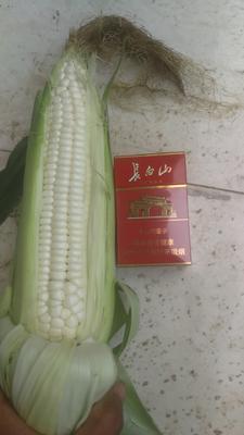 河北省保定市唐县糯玉米 白粒 鲜货