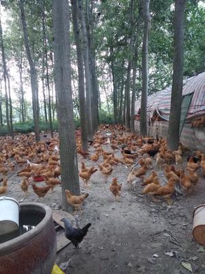 湖北省仙桃市仙桃市土鸡蛋 食用 箱装