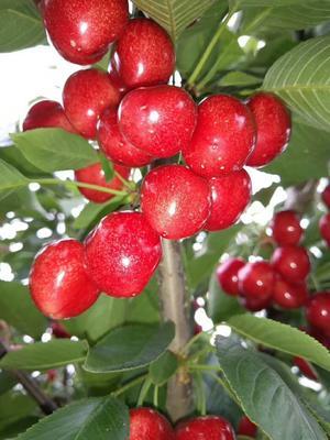 这是一张关于沙米豆樱桃 26-28mm 18-20g的产品图片