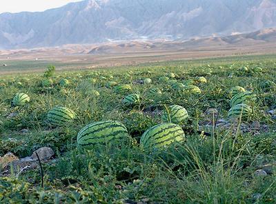 这是一张关于金城5号西瓜 有籽 1茬 9成熟 15斤打底的产品图片