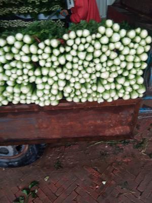这是一张关于美国文图拉芹菜 55~60cm 大棚种植 100000.0斤的产品图片