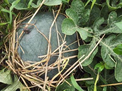 湖北省荆州市松滋市黑皮无籽西瓜 无籽 1茬 8成熟 10斤打底