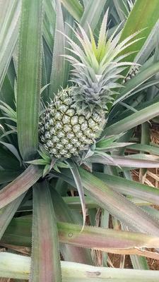 这是一张关于徐闻菠萝 1.5 - 2斤的产品图片