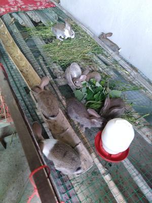 江西省上饶市余干县比利时兔 1-3斤