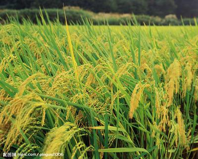 江苏省常州市新北区香米 非有机大米 中稻 一等品