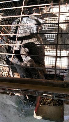 广西壮族自治区柳州市融安县獭兔种兔 1-3斤
