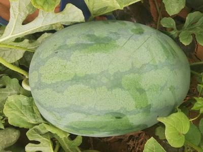 河北省邯郸市广平县龙卷风西瓜 有籽 1茬 8成熟 8斤打底