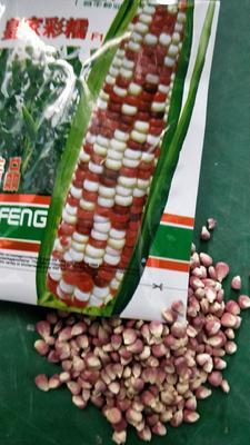 安徽省合肥市肥东县玉米种子