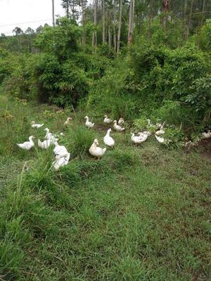 广西壮族自治区南宁市西乡塘区骡鸭 统货 全散养 7-8斤