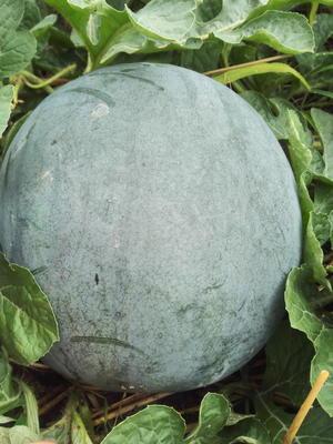 这是一张关于8424西瓜 无籽 1茬 8成熟 10斤打底的产品图片