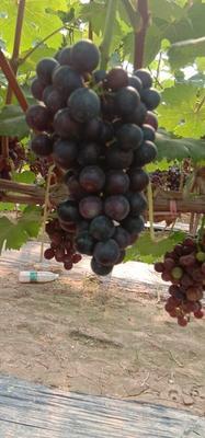 河南省商丘市宁陵县夏黑葡萄 5%以下 1次果 1.5- 2斤