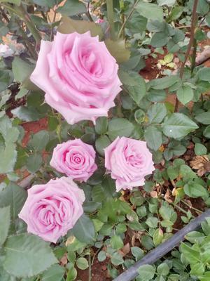 云南省昆明市呈贡区紫玫瑰