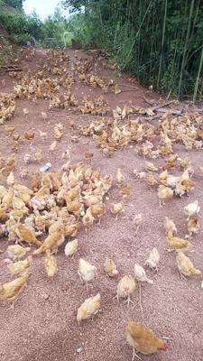 这是一张关于土鸡 公 2斤以下的产品图片