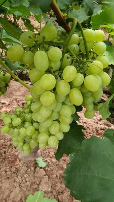 湖北省荆州市公安县维多利亚葡萄 5%以下 1次果 2斤以上