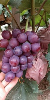 这是一张关于夏黑葡萄 5%以下 1次果 0.8-1斤的产品图片