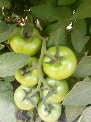 这是一张关于思必得西红柿 不打冷 大红 弧三以上的产品图片