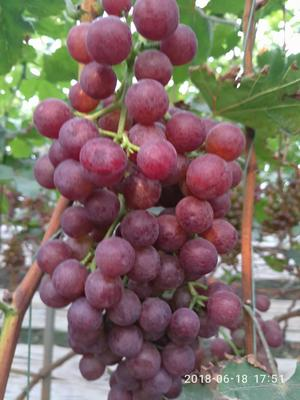 山东省潍坊市诸城市红无核葡萄 5%以下 1次果 1-1.5斤