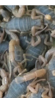 这是一张关于野生蝎子的产品图片