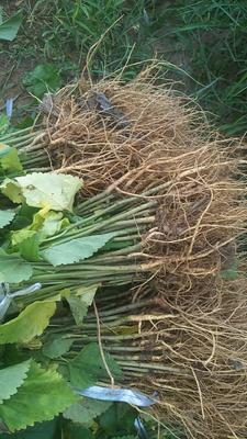 这是一张关于养蚕桑树苗的产品图片