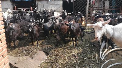 山东省烟台市莱州市黑山羊 30-50斤