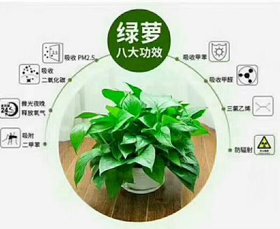 广东省广州市花都区绿萝