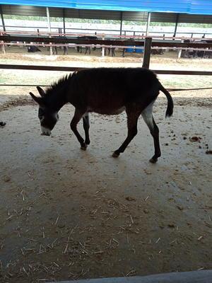 这是一张关于德州驴 200-400斤的产品图片
