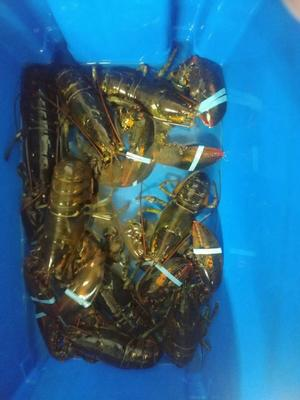 这是一张关于锦绣龙虾 进口 1-2斤/只的产品图片