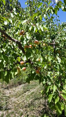 新疆维吾尔自治区阿克苏地区温宿县树上干杏 30-40mm