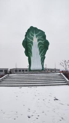 陕西省榆林市靖边县义和秋 3~6斤 毛菜