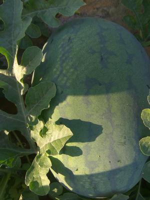 这是一张关于龙卷风西瓜 有籽 1茬 9成熟 8斤打底的产品图片