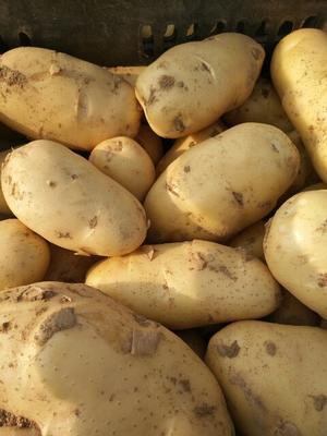 这是一张关于荷兰15号土豆 3两以上 的产品图片