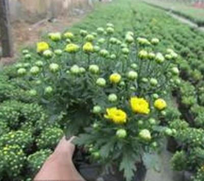 这是一张关于国庆菊的产品图片