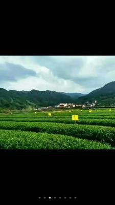 这是一张关于旱塘硒山绿茶 散装 特级的产品图片