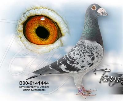 这是一张关于土鸽子 500-600克的产品图片