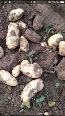 河南省开封市通许县荷兰15号土豆 3两以上