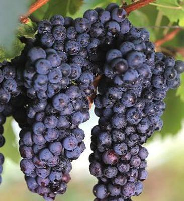 山东省临沂市沂水县玫瑰香葡萄 5%以下 1次果 2斤以上