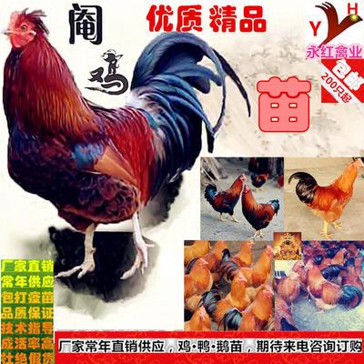 广西壮族自治区南宁市西乡塘区阉鸡苗