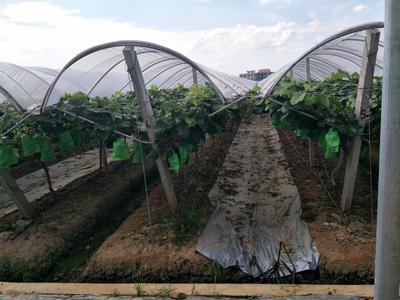 湖南省衡阳市衡东县阳光玫瑰 5%以下 1次果 1-1.5斤