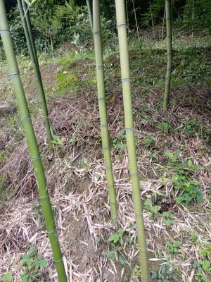 这是一张关于龙竹的产品图片