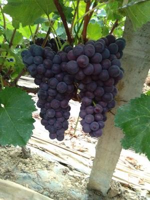 陕西省西安市户县巨峰葡萄 5%以下 2次果 1.5- 2斤