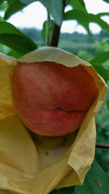 这是一张关于水蜜桃 55mm以上 3 - 4两的产品图片